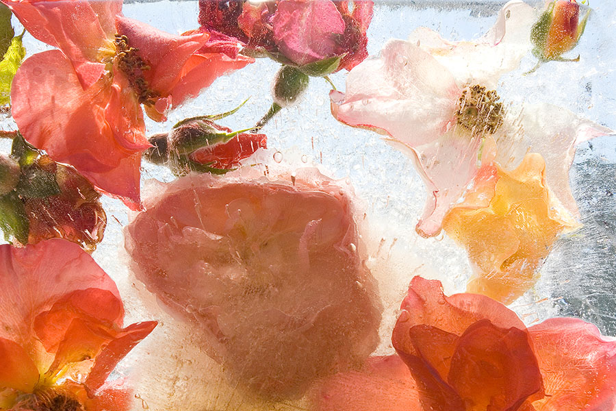 Garden Roses (2008) from the series Ice Gardens by Mary Kocol